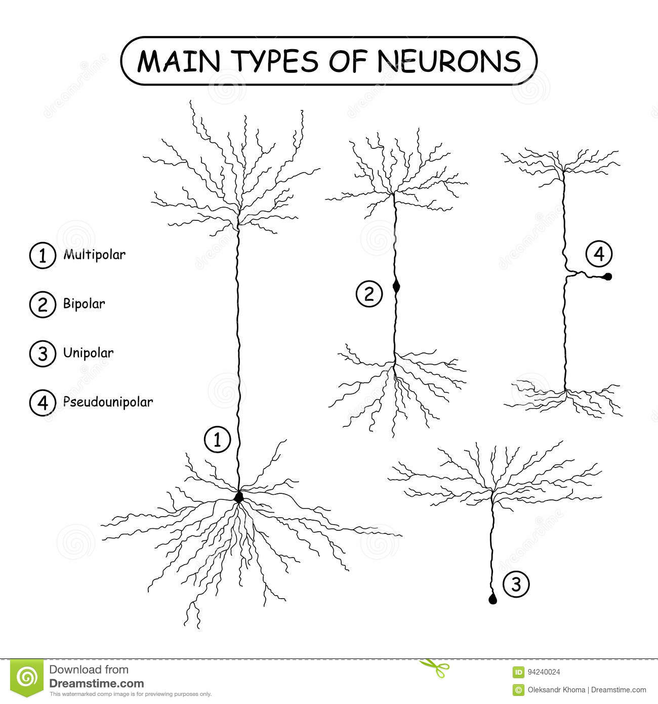 Four Main Types Of Neurons On White Stock Vector