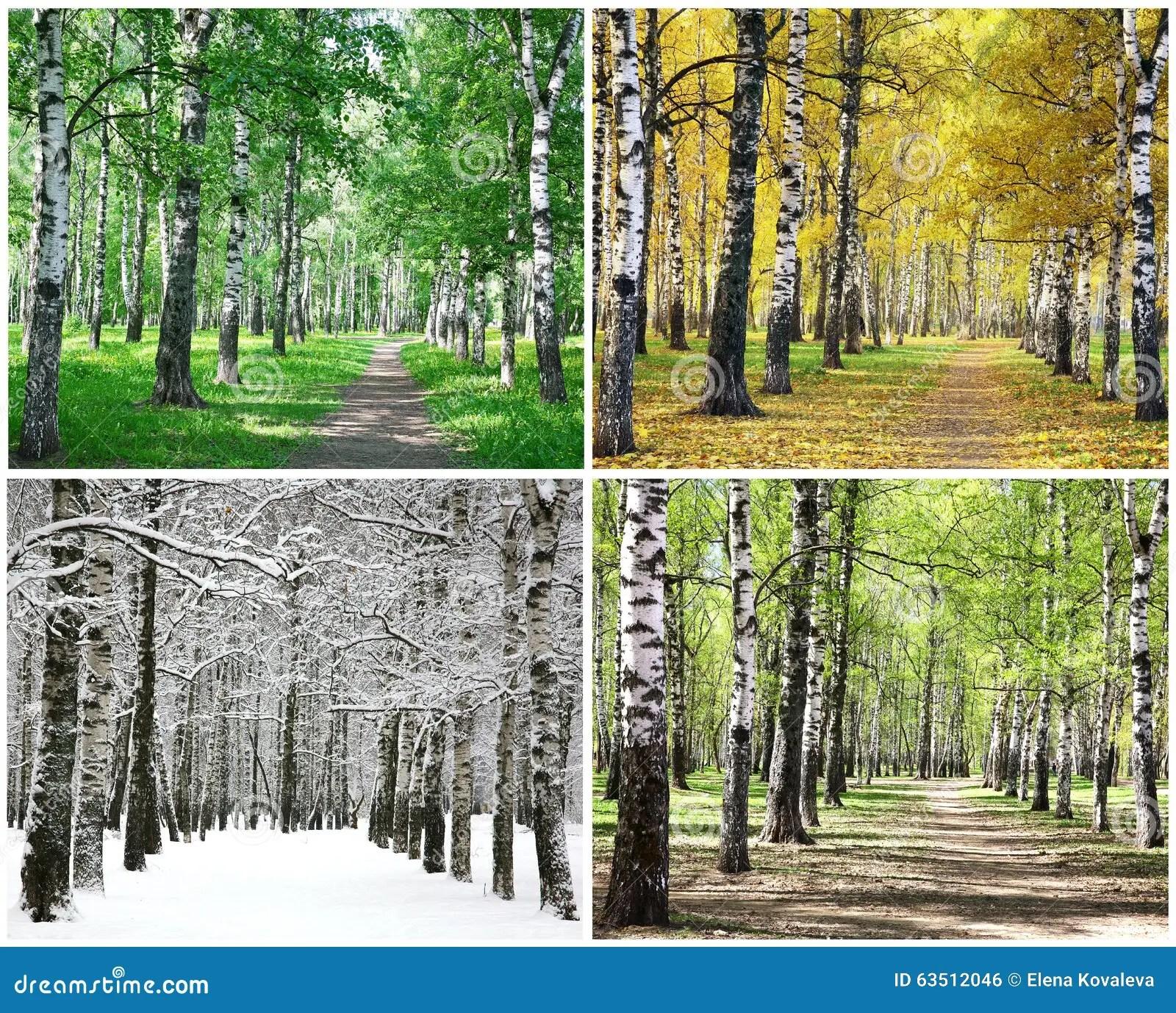 Four Seasons Of Row Birch Trees Stock Photo