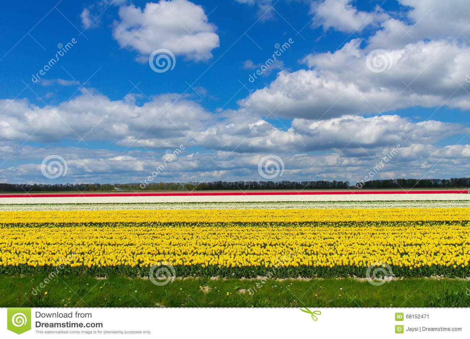 Frhlingstulpenfelder In Holland Blumen In Den Niederlanden Stockbild  Bild von kultur