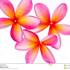 Diagram Of Perfect Flower Lily Molex To Sata Wiring The Gallery For --> Yellow Plumeria Clip Art