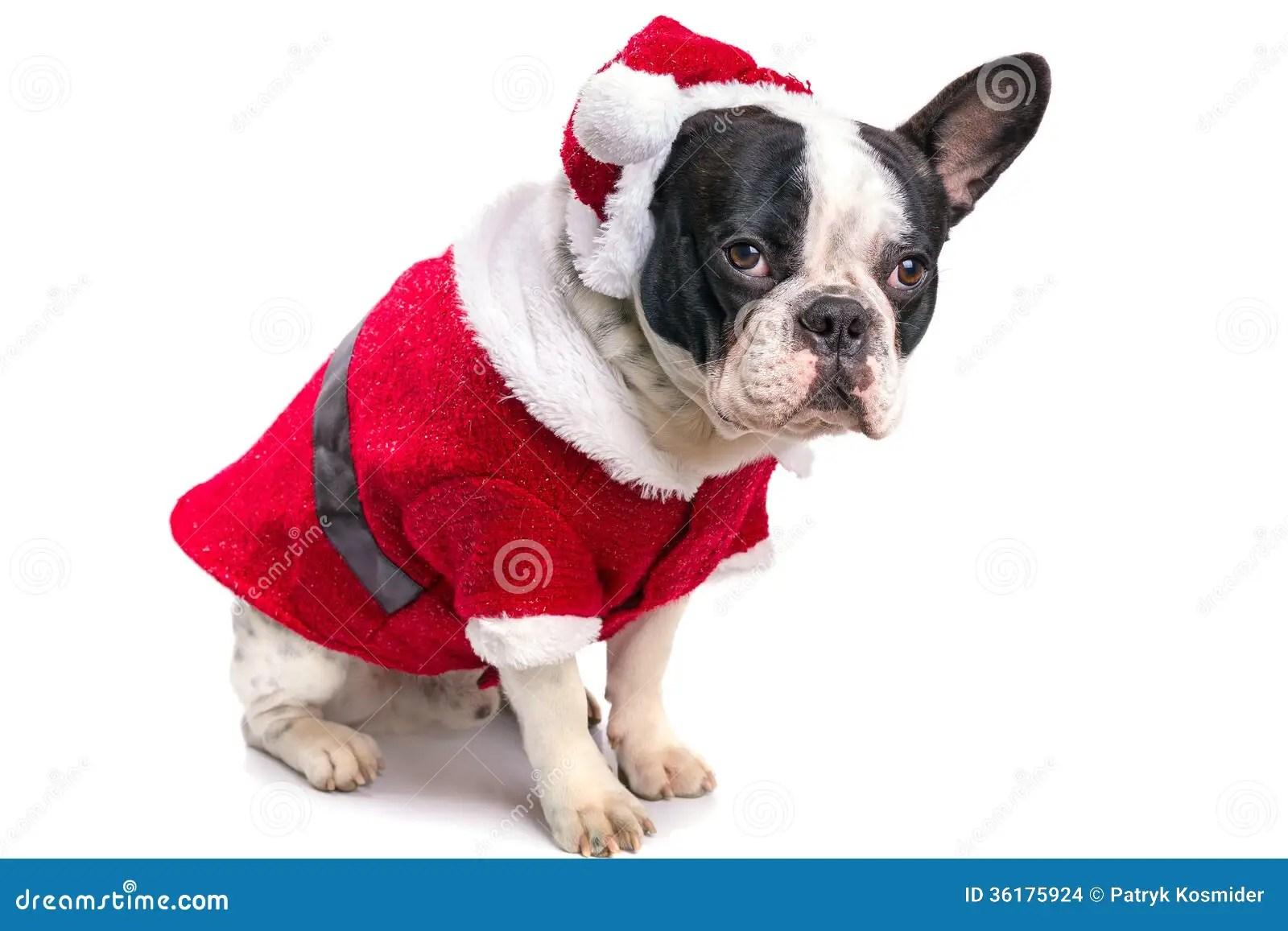 French Bulldog In Santa Costume Stock Photo Image 36175924