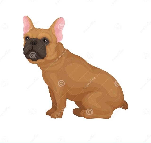 french bulldog sitting isolated on white background. home