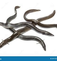 fresh european eel [ 1300 x 957 Pixel ]