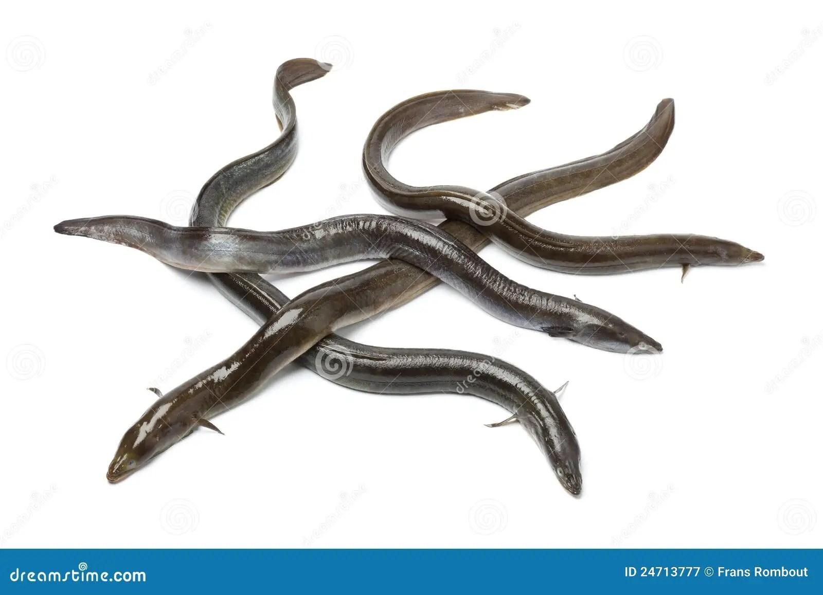 hight resolution of fresh european eel