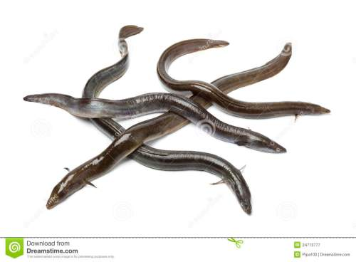 small resolution of fresh european eel