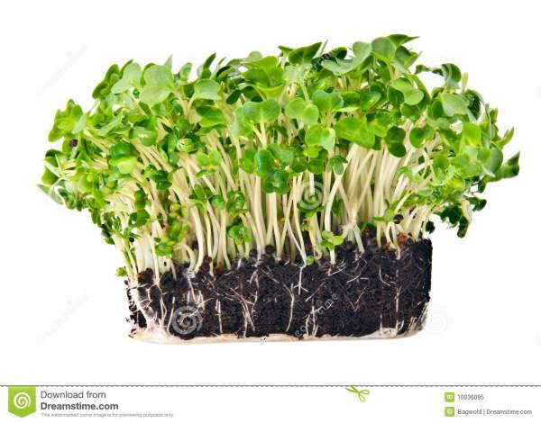 Fresh Mustard And Cress Royalty Free Stock