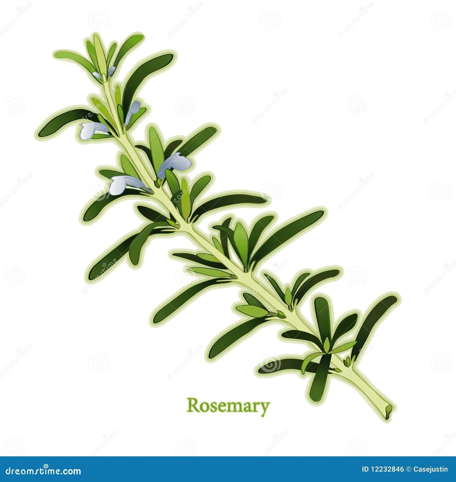 Fresh Rosemary Herb stock vector Illustration of kitchen