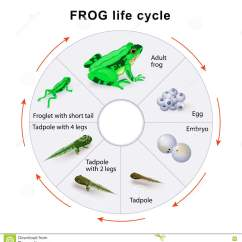 Lizard Life Cycle Diagram 2006 Ford Focus Zx4 Fuse Box Tadpoles Cartoons Illustrations And Vector Stock Images
