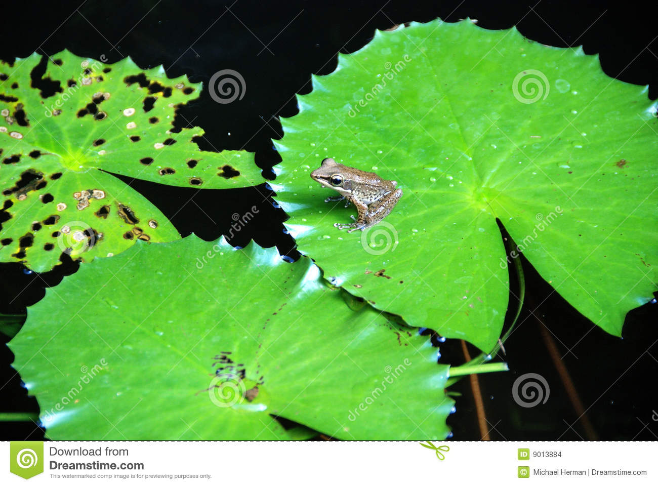 Frog On A Lily Pad Stock Photo Image Of Animal Webbed
