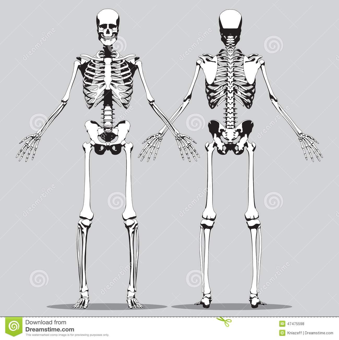 Front And Back View Of A Human Skeleton Stock Vector