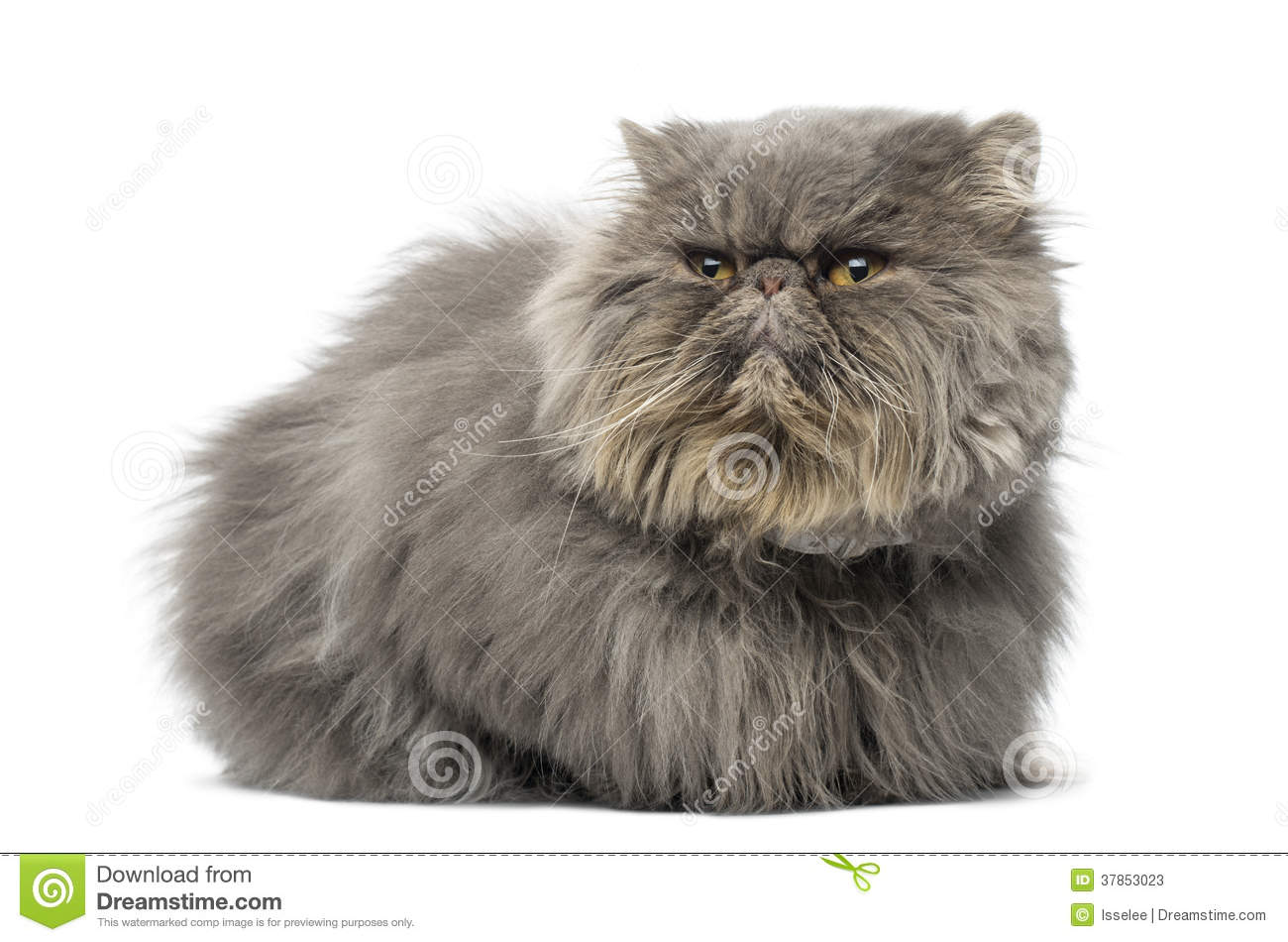 Front View Of A Grumpy Persian Cat Lying Looking Away
