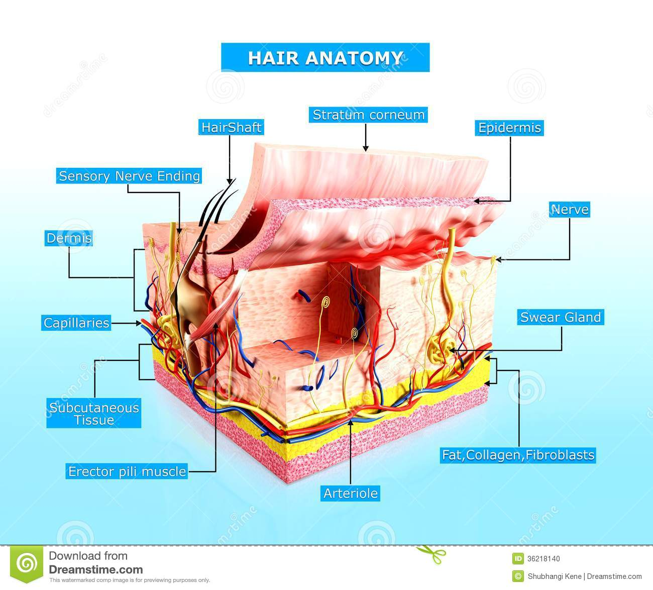 skin anatomy diagram labeled auto transformer internal wiring front view of human cutway stock illustration