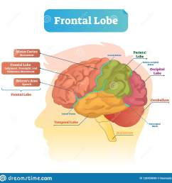 frontal lobe vector illustration labeled diagram with brain part structure [ 1600 x 1649 Pixel ]