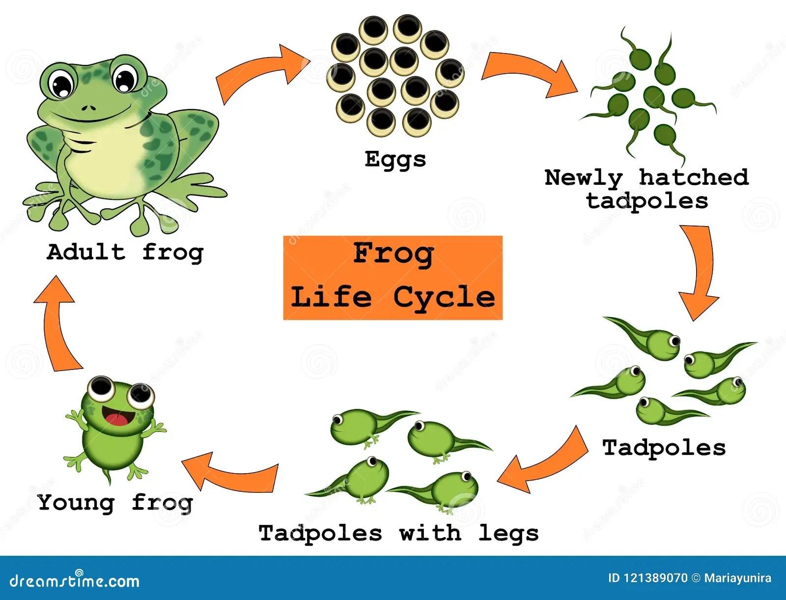 Frosch Lebenszyklus Konzept Stock Abbildung