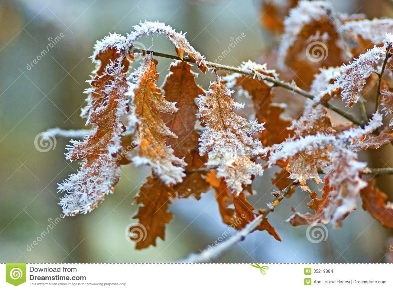 Frosty Fall Leaves Wallpaper Frosty Oak Leaves Stock Images Image 35219884