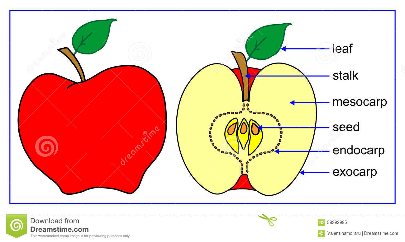 Fruit Parts Stock Illustration