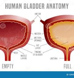 bladder anatomy scheme [ 1600 x 1043 Pixel ]
