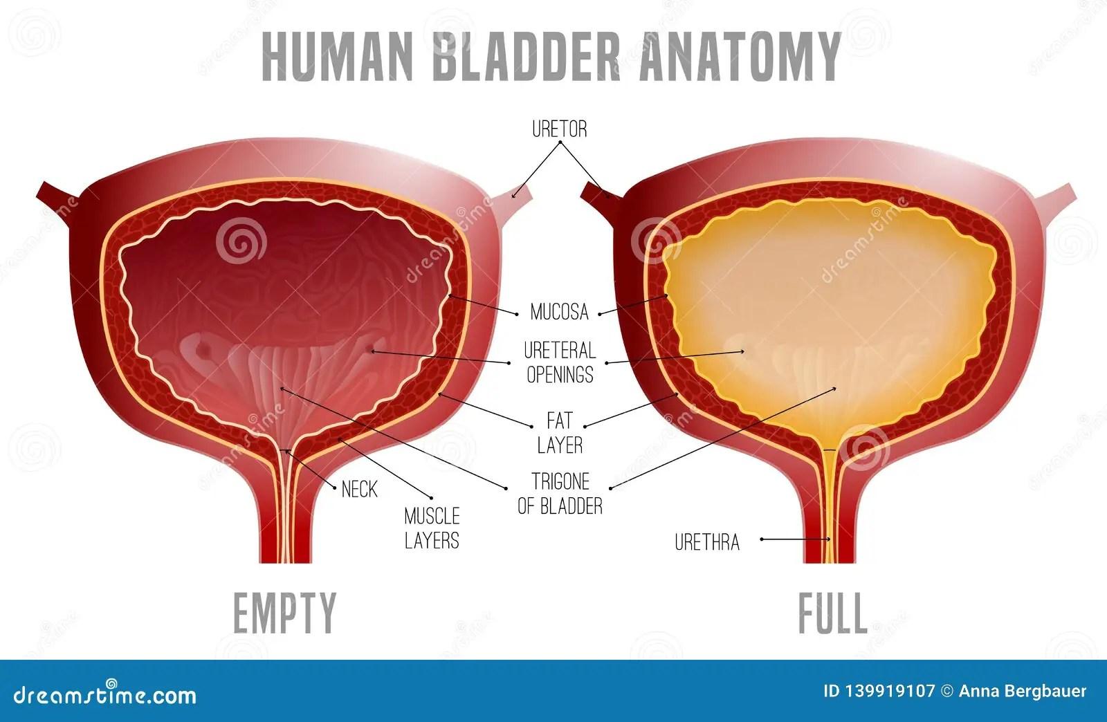 hight resolution of bladder anatomy scheme