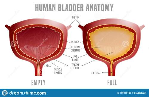 small resolution of bladder anatomy scheme