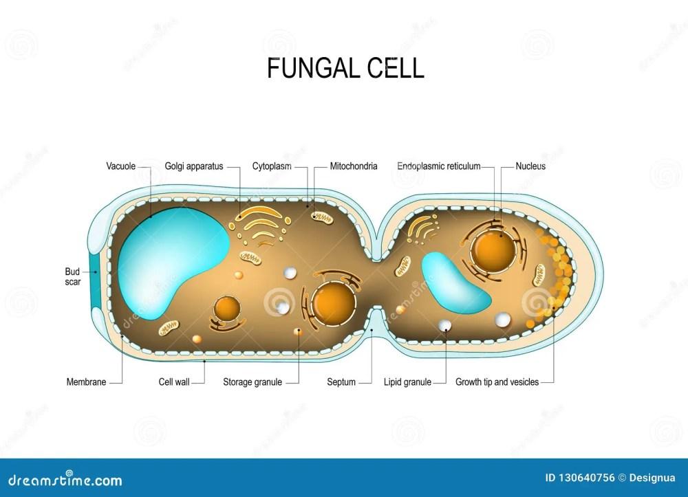 medium resolution of cross section of a fungal hyphae cells septum bud scar mitochondrion vacuole nucleus endoplasmic reticulum lipid granule membrane golgi apparatus