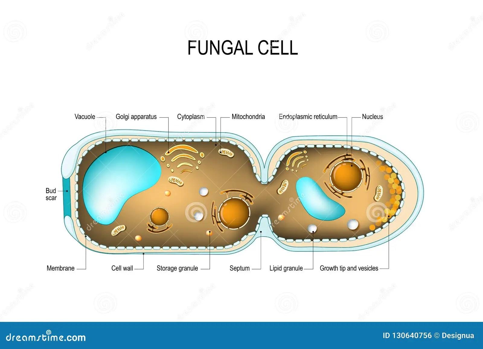 hight resolution of cross section of a fungal hyphae cells septum bud scar mitochondrion vacuole nucleus endoplasmic reticulum lipid granule membrane golgi apparatus