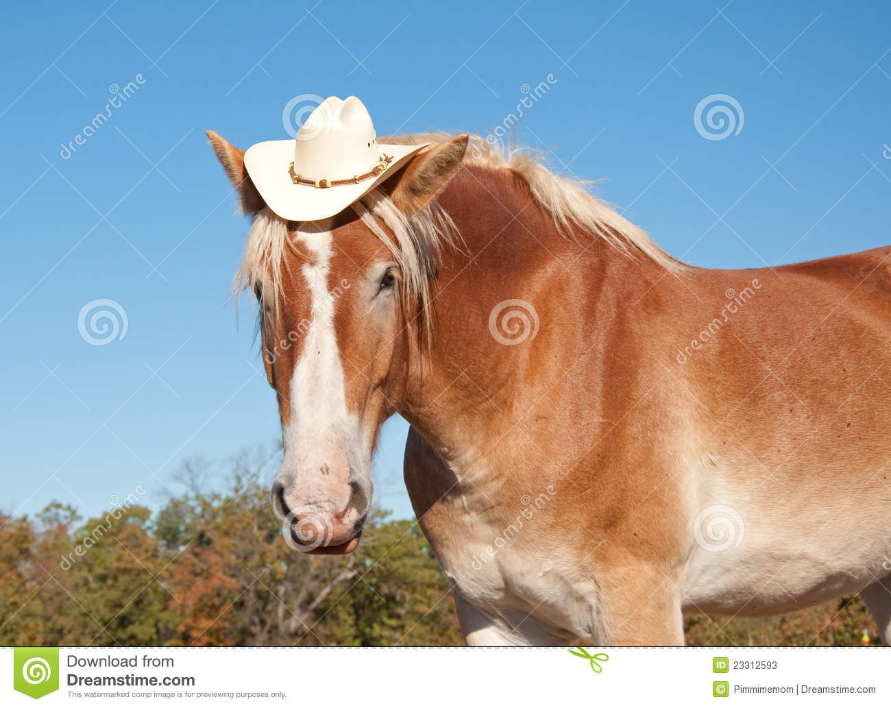 Cute Animal Summer Wallpaper Pictures Funny Image Of A Blond Belgian Draft Horse Stock Photos