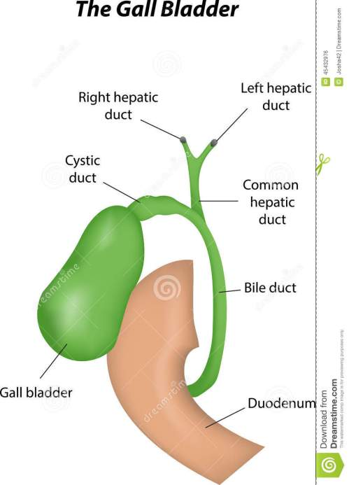 small resolution of the gall bladder labeled diagram stock vector illustration of gall bladder anatomy gall bladder diagram