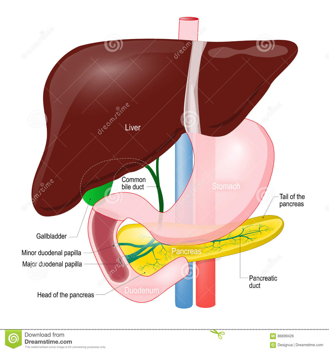 pancreas anatomy diagram caravan towing electrics wiring gallbladder duct of the liver duodenum