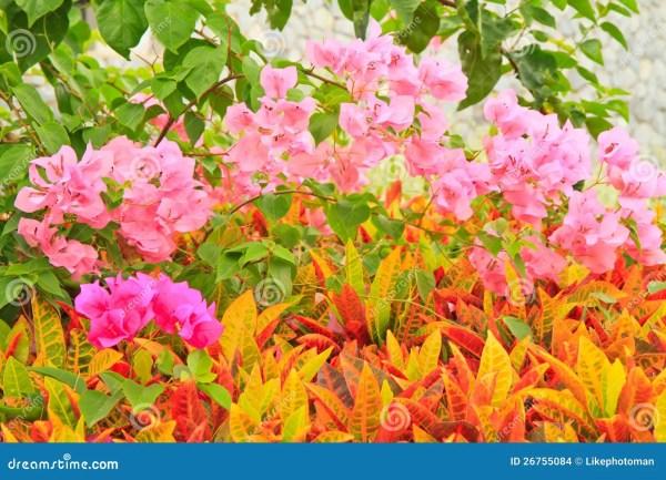 Garden Croton Stock - 26755084