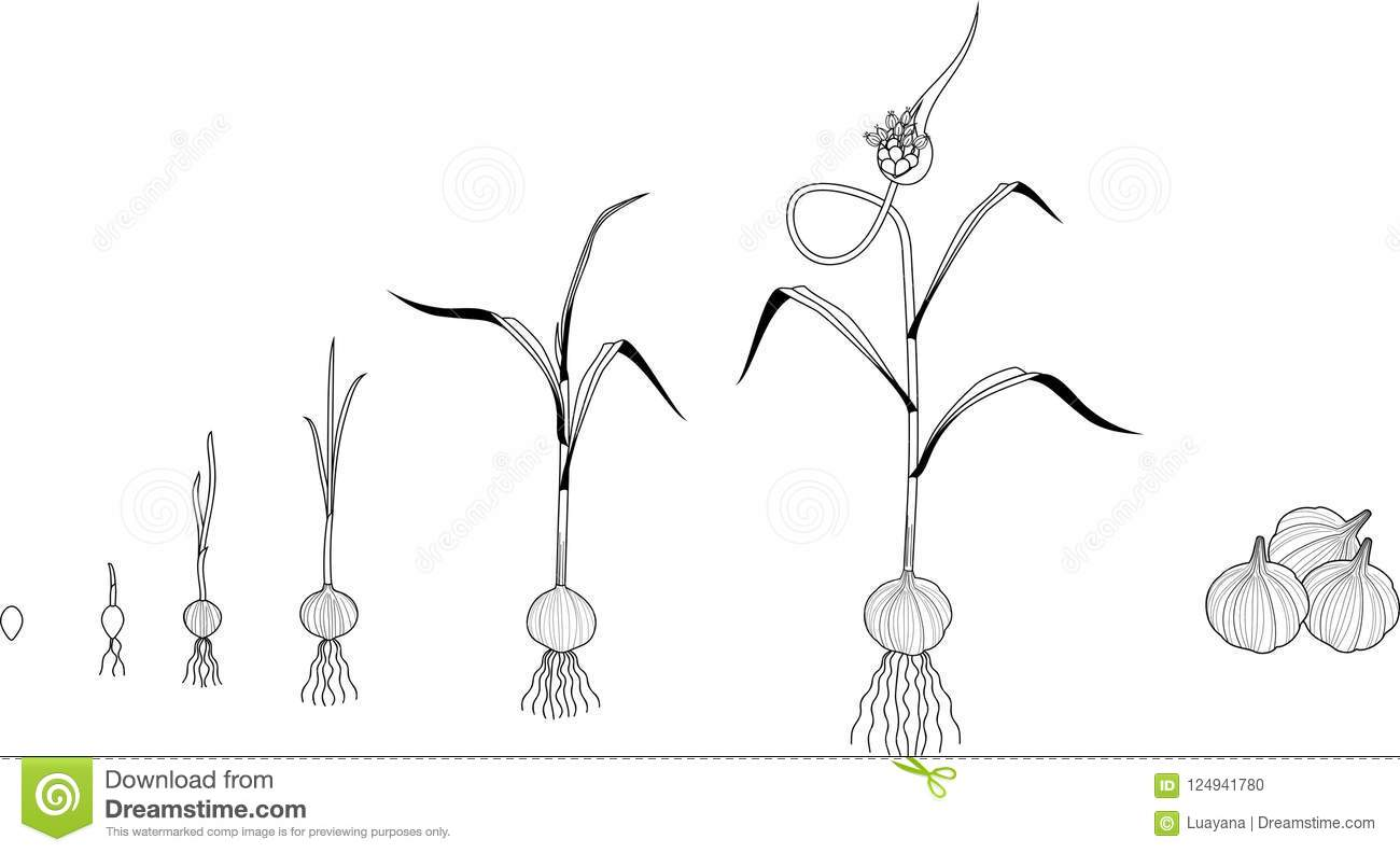 Garlic Life Cycle Coloring Page Consecutive Stages Of