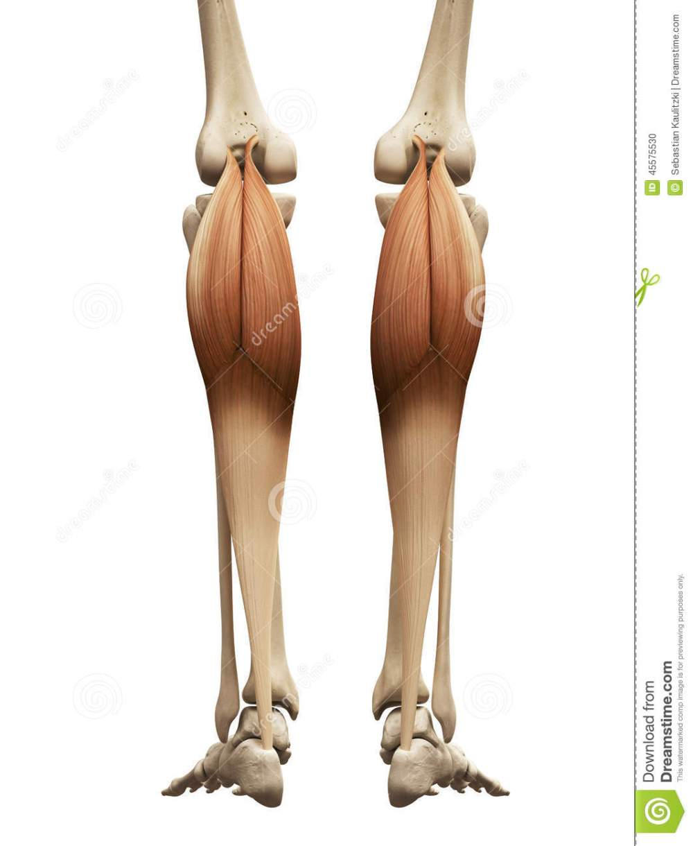 medium resolution of human muscle anatomy the gastrocnemius