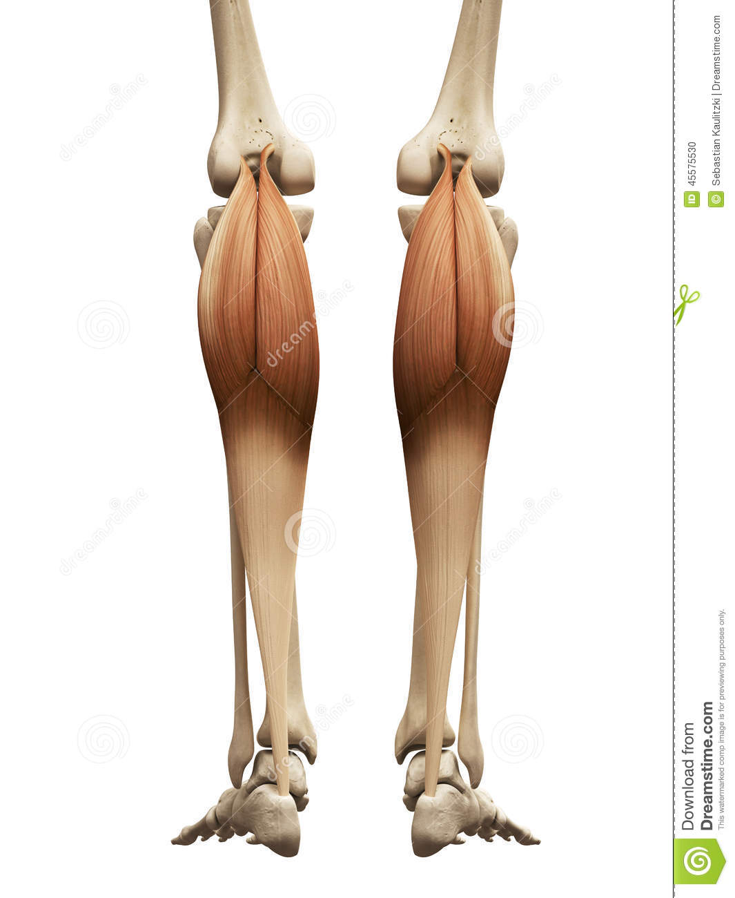 hight resolution of human muscle anatomy the gastrocnemius