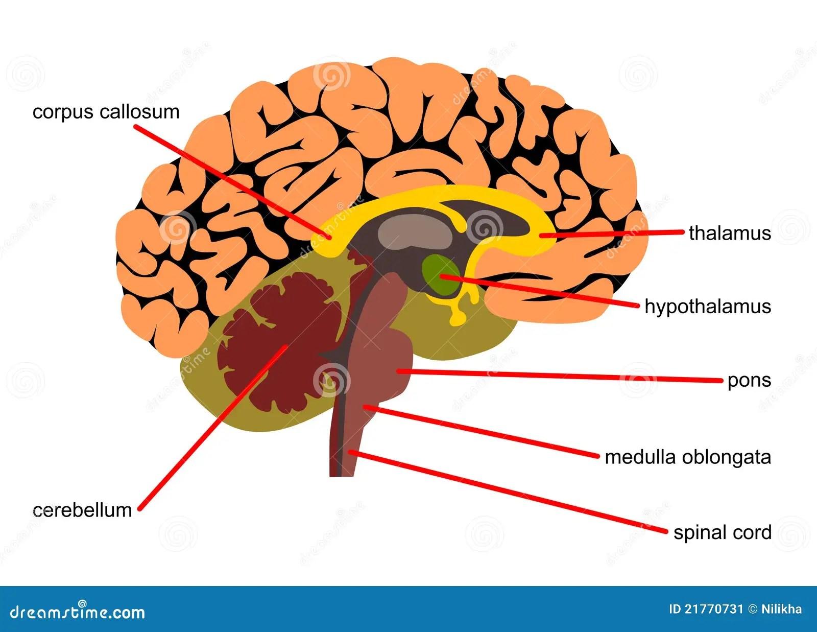 Gehirnanteile An Seitenansicht Stock Abbildung