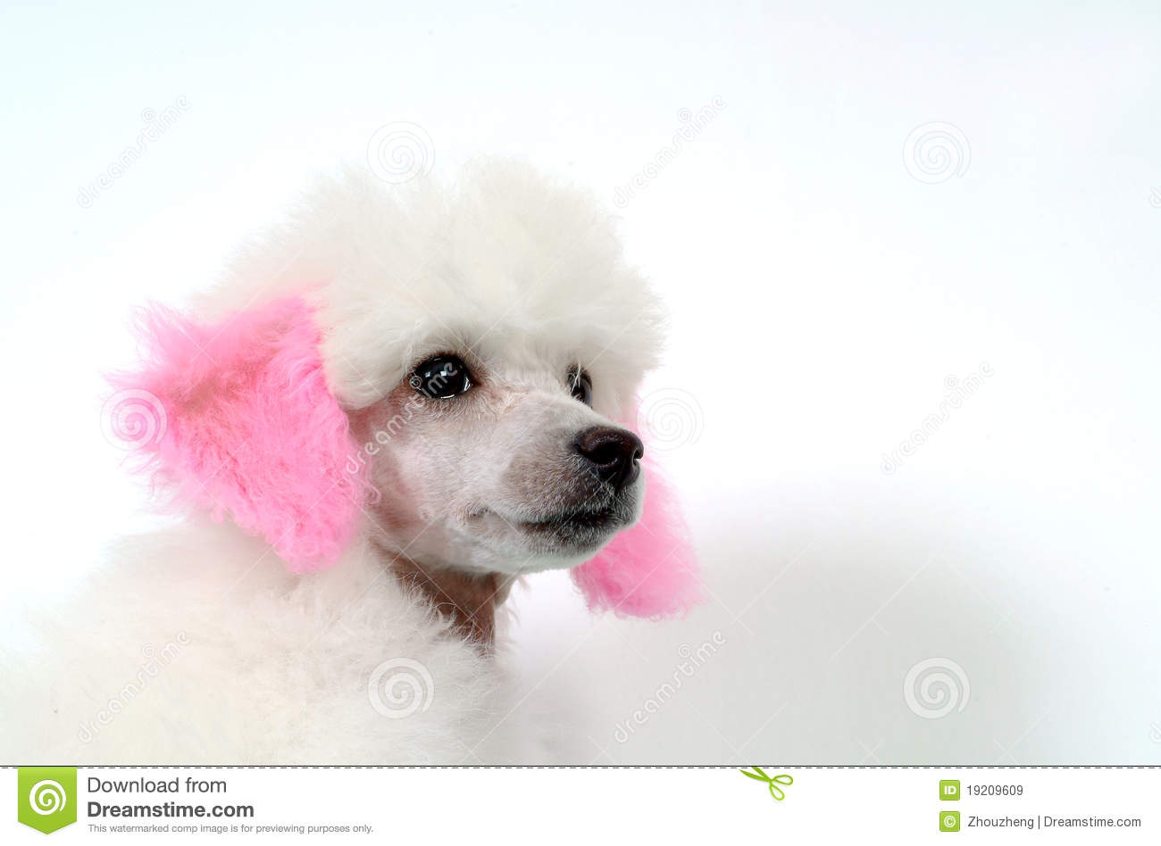 German Poodle Royalty Free Stock Images Image 19209609