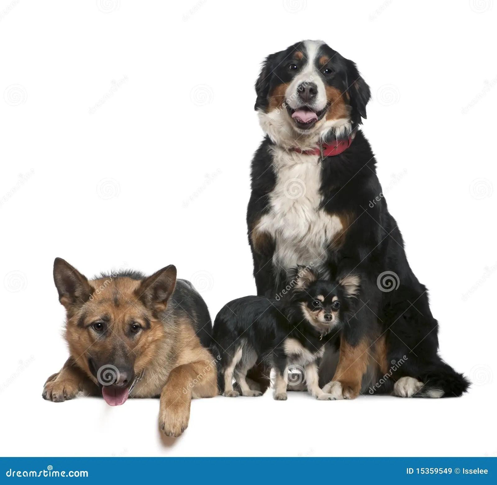 German Shepherd Bernese Mountain Dog Chihuahua Royalty