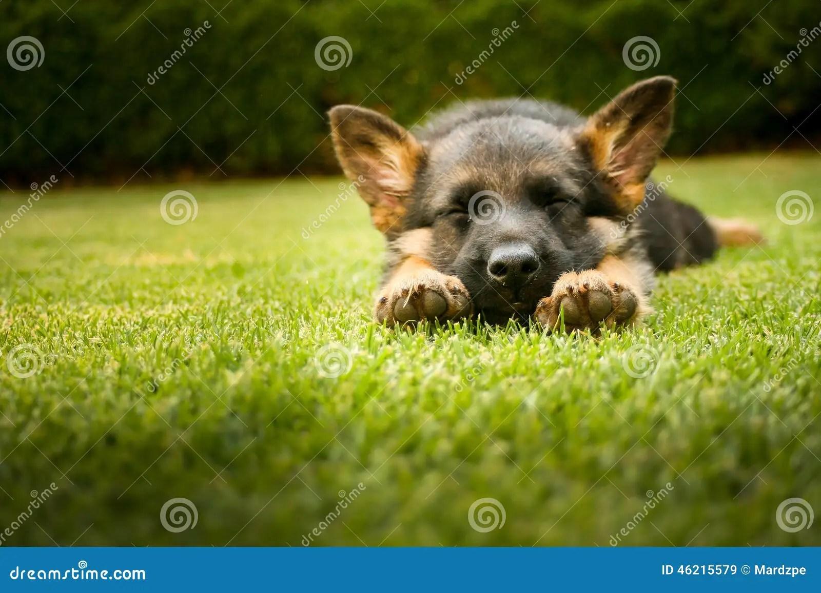 German Shepherd Puppy Sleeping On A Warm Summer Day Stock