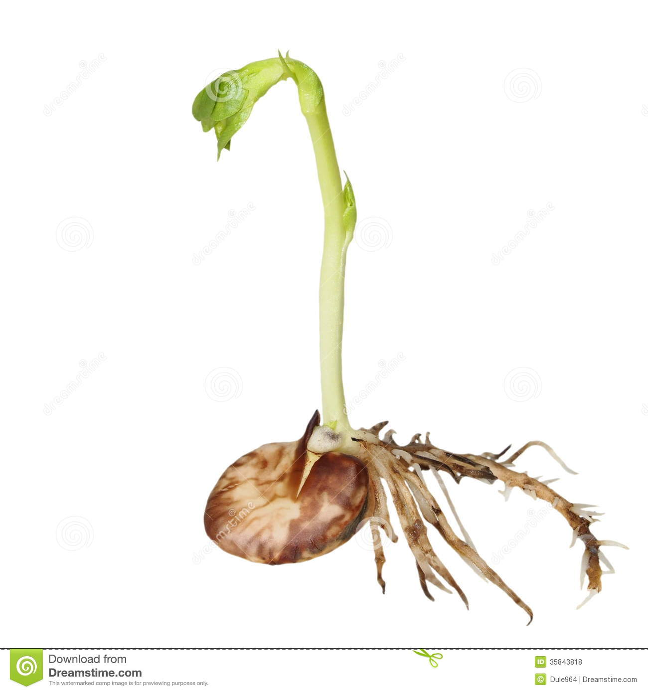 bean seedling diagram keystone outback wiring germination of beans isolated on white stock photo image