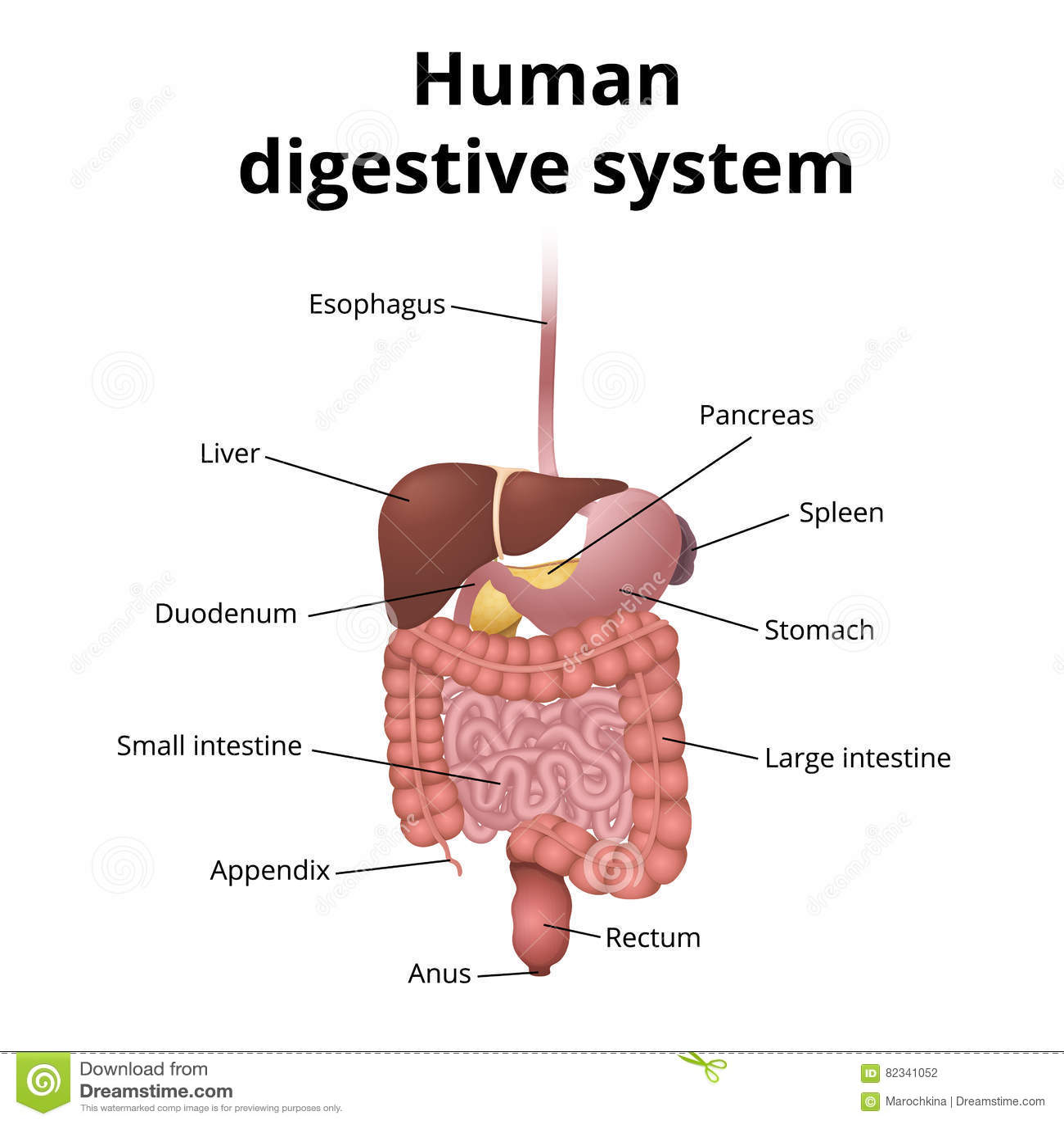 Gi Tract Organs Stock Vector Illustration Of Intestinal