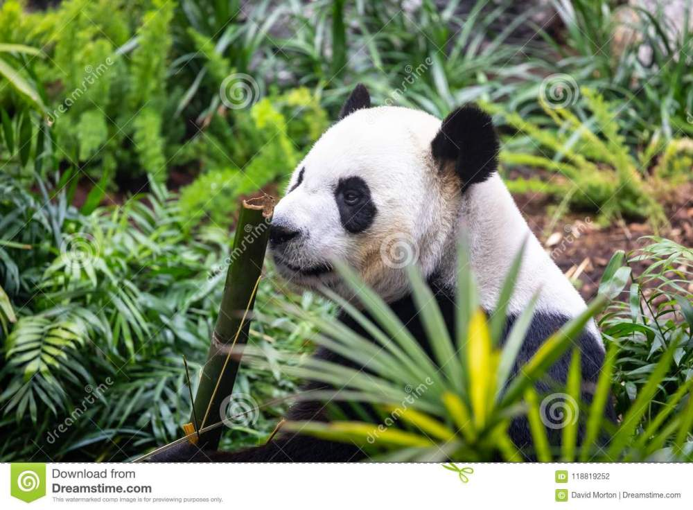 medium resolution of calgary zoo are currently home to a group of giant pandas on loan from china as part of a breeding programme