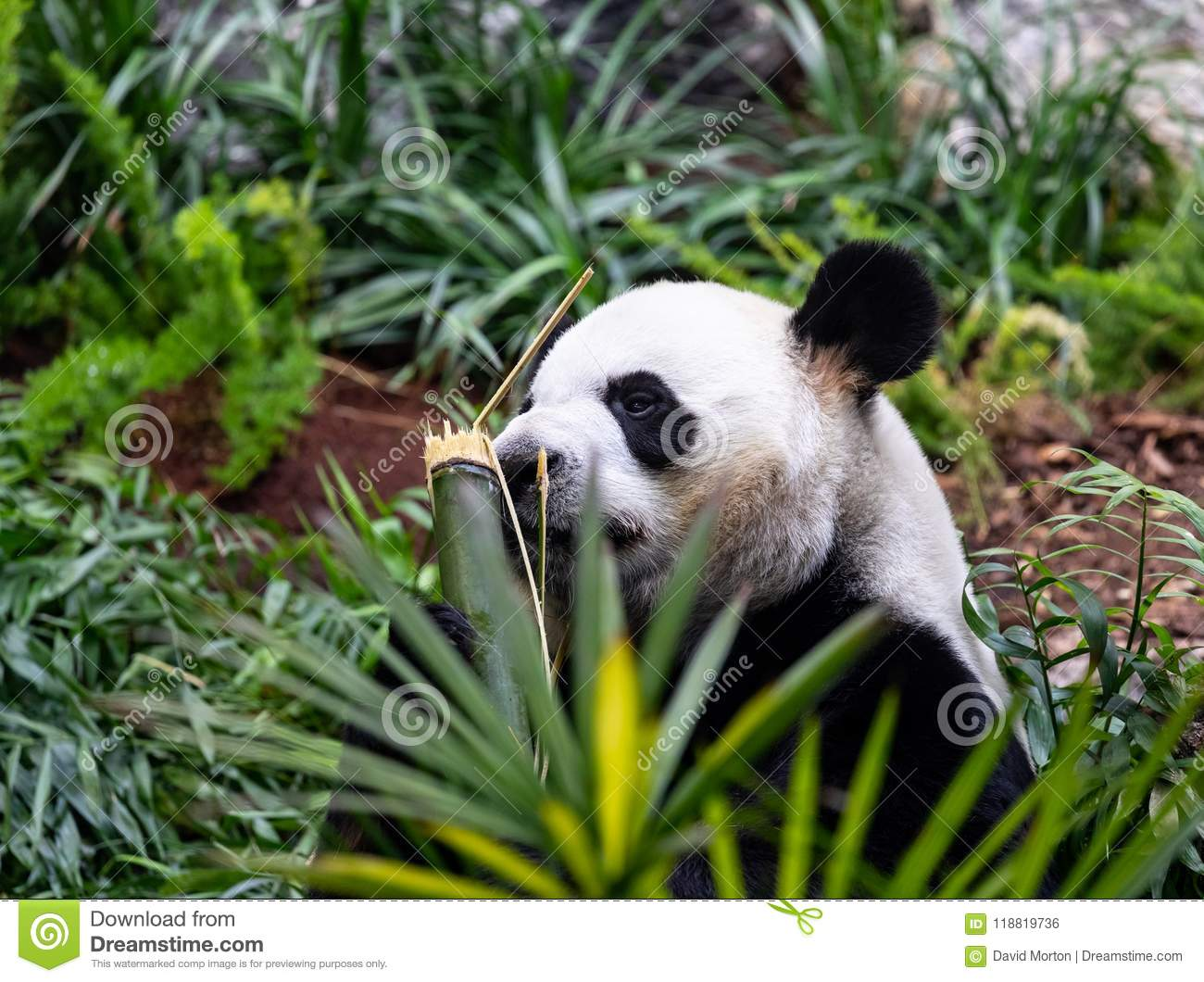 hight resolution of calgary zoo are currently home to a group of giant pandas on loan from china as part of a breeding programme