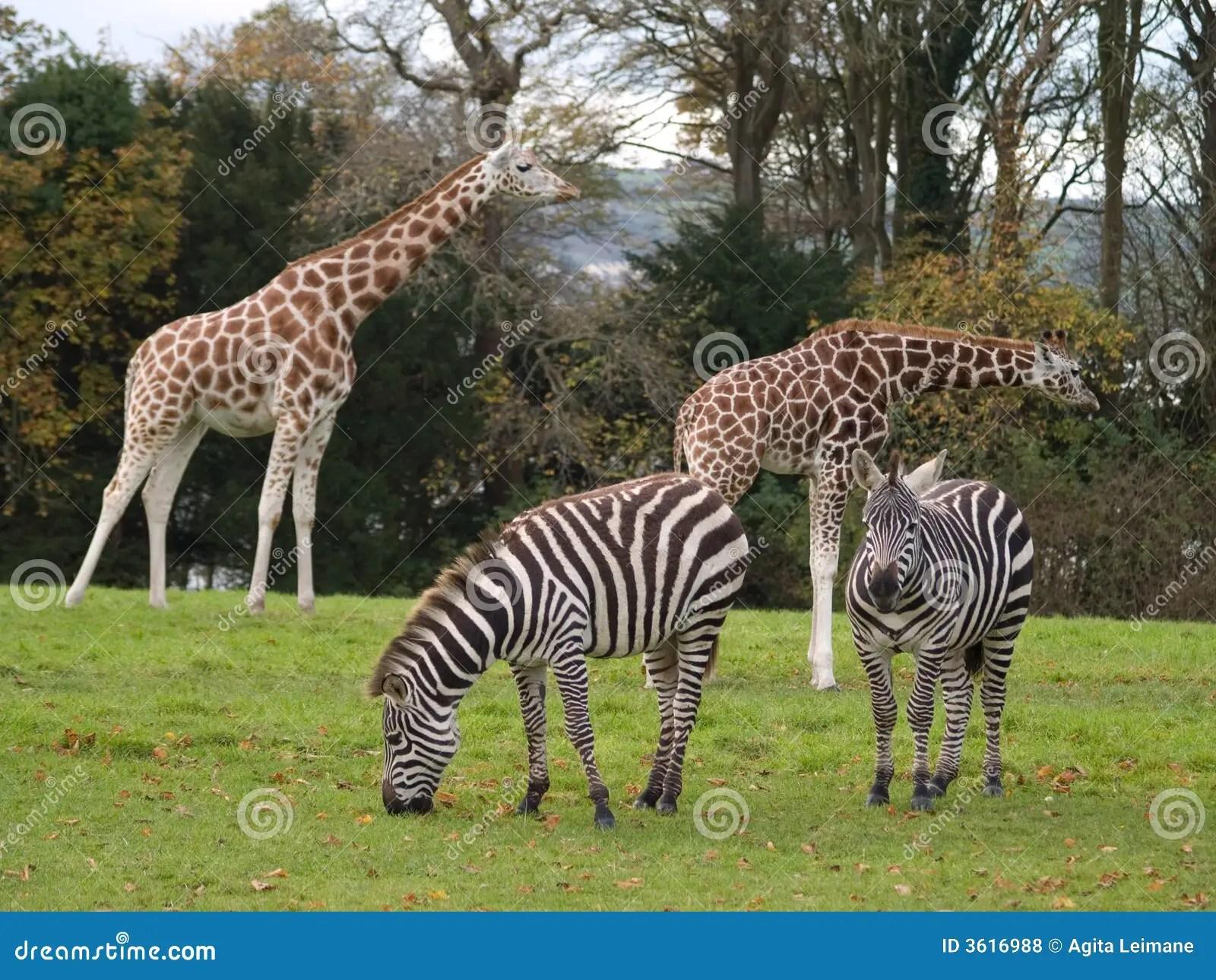 Giraffe E Zebre Fotografia Stock Immagine Di Selvaggio