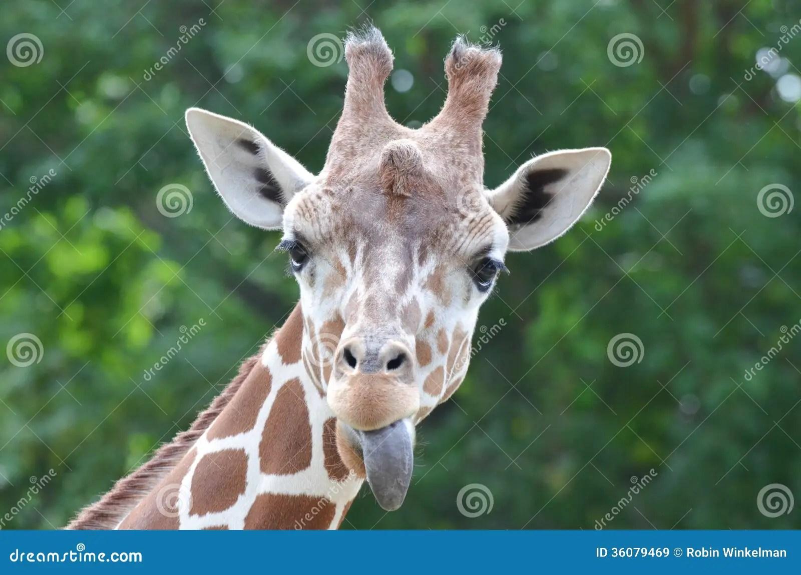 giraffe tongue stock image
