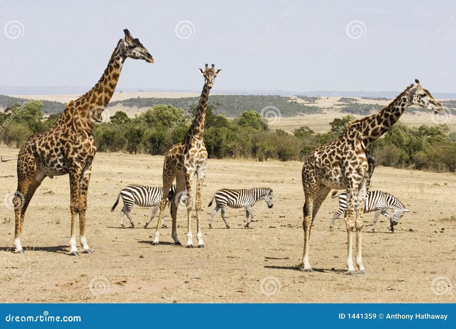 Giraffes And Zebras Stock Image Image Of Zebras Africa