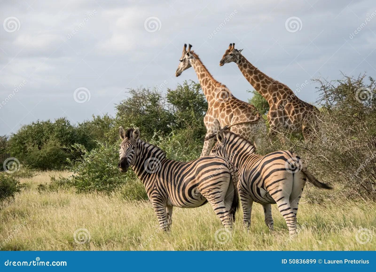 Giraffes And Zebras Stock Image Image Of Head Black