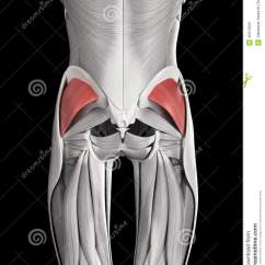 Gluteus Muscles Diagram Pain Witter Towbar Electrics Wiring The Minimus Stock Illustration Image 45576325