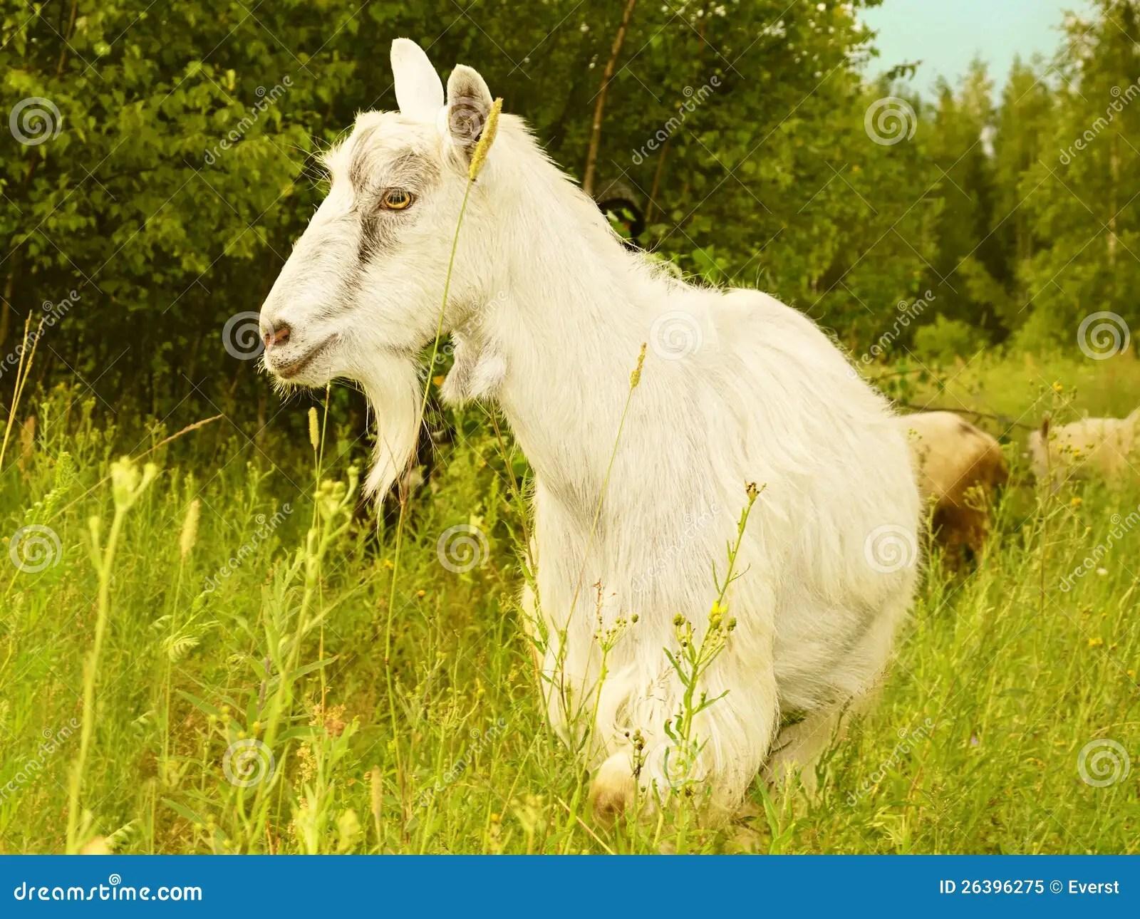 Goat White Farm Animal Stock Image Image Of Ears
