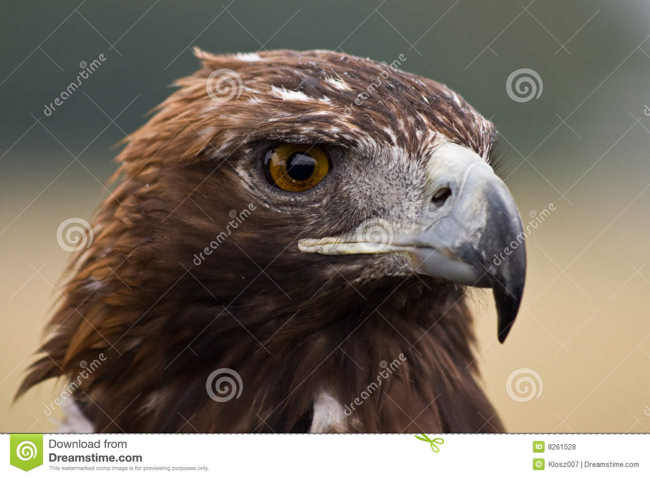 Hd Vector Wallpapers Free Download Golden Eagle Face Royalty Free Stock Photos Image 8261528
