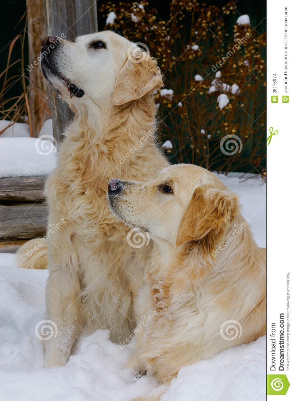 Golden Retriever Dogs In Snow Stock Images  Image 28175974