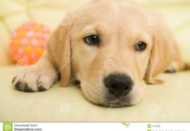 Golden Retriever Stock Photos Pictures Royalty Free