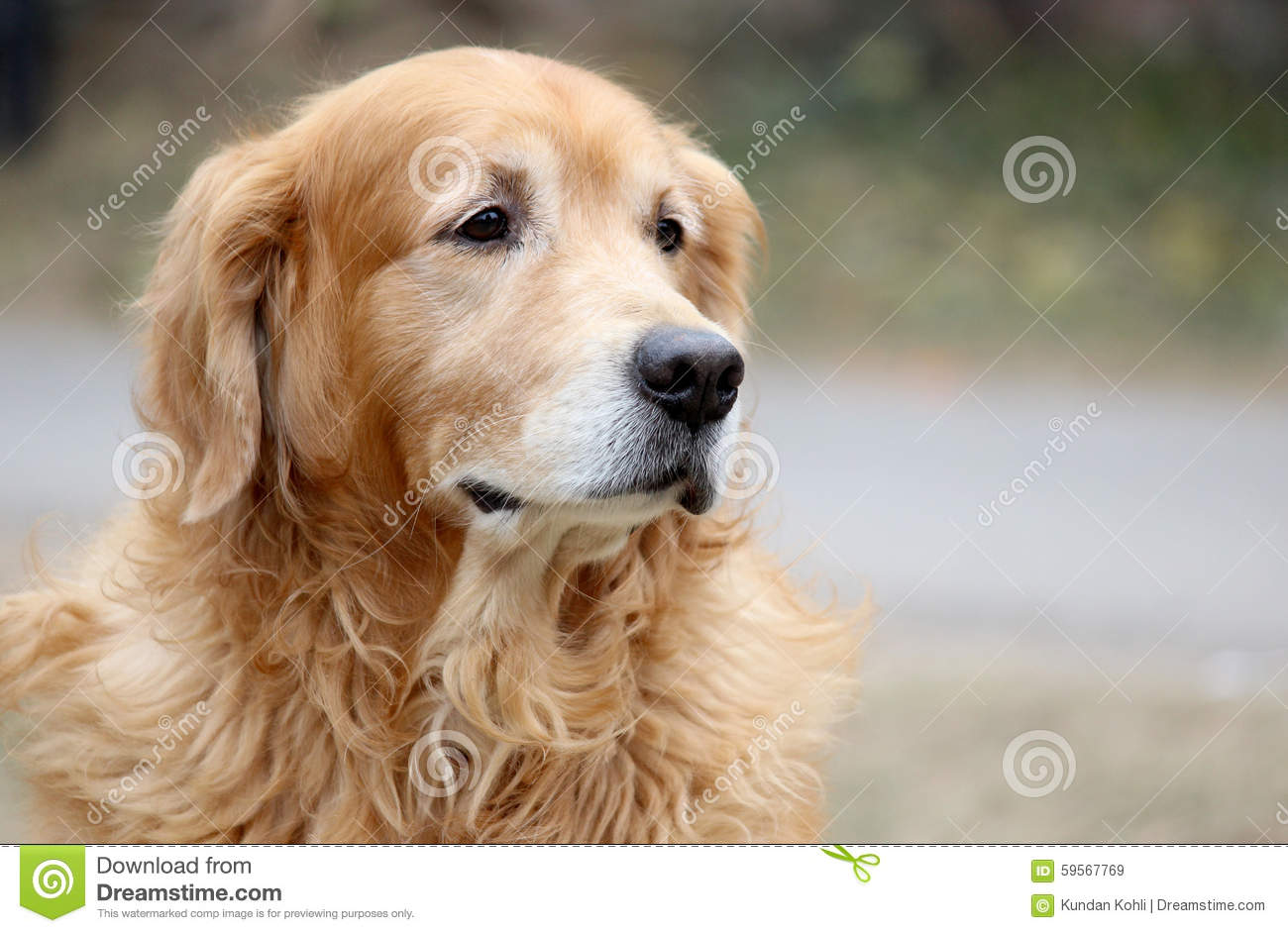 golden retriever wallpaper stock